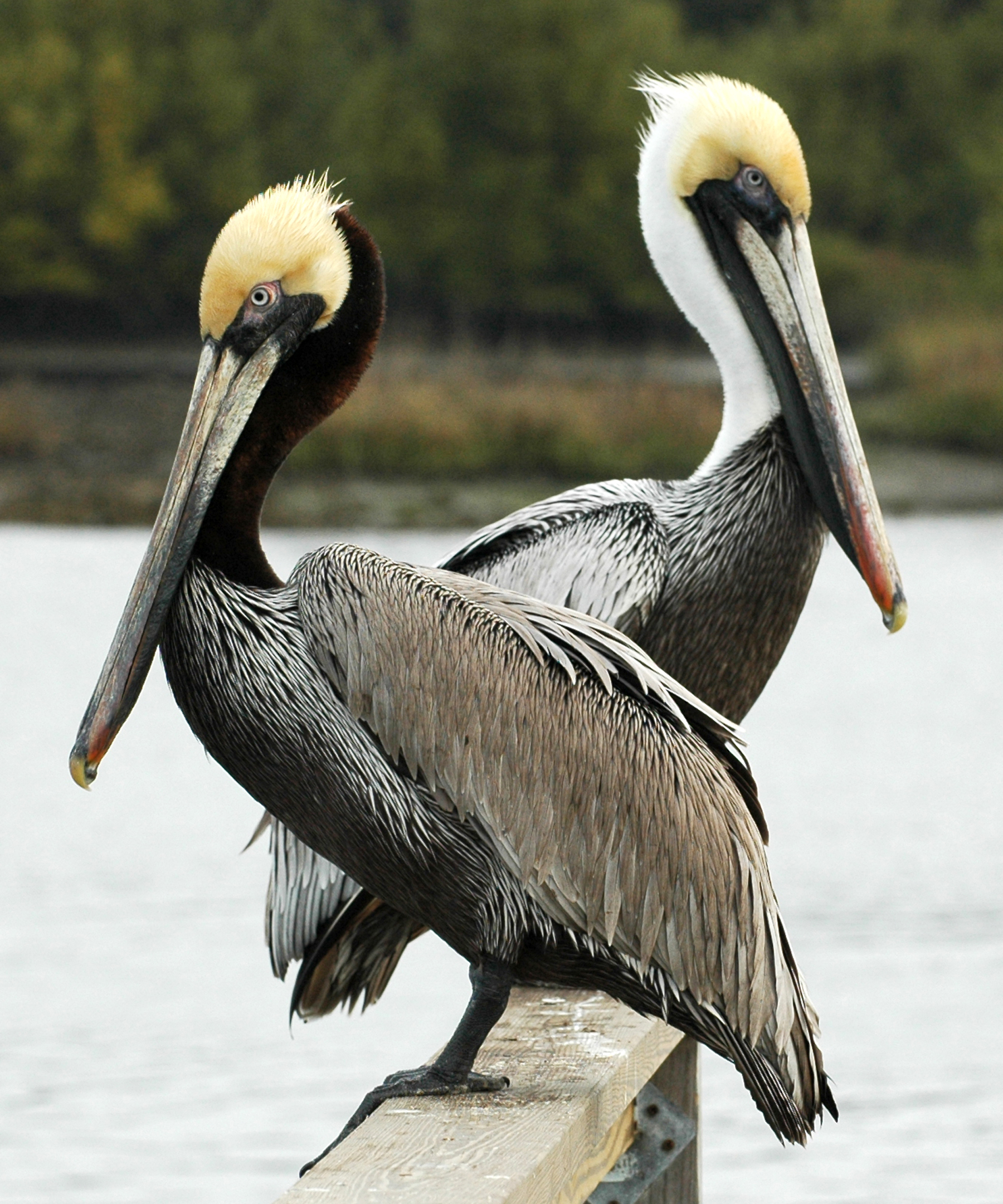 brown pelican friends of the migratory bird duck stamp